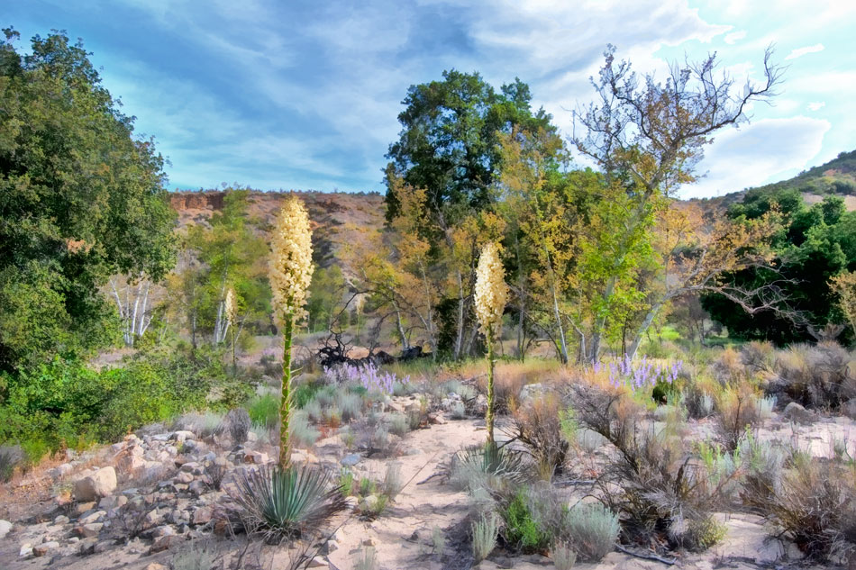 ds15-dripping-springs-yucca