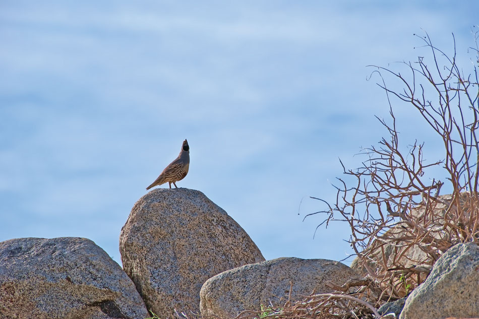 15-gv-quail-on-rock