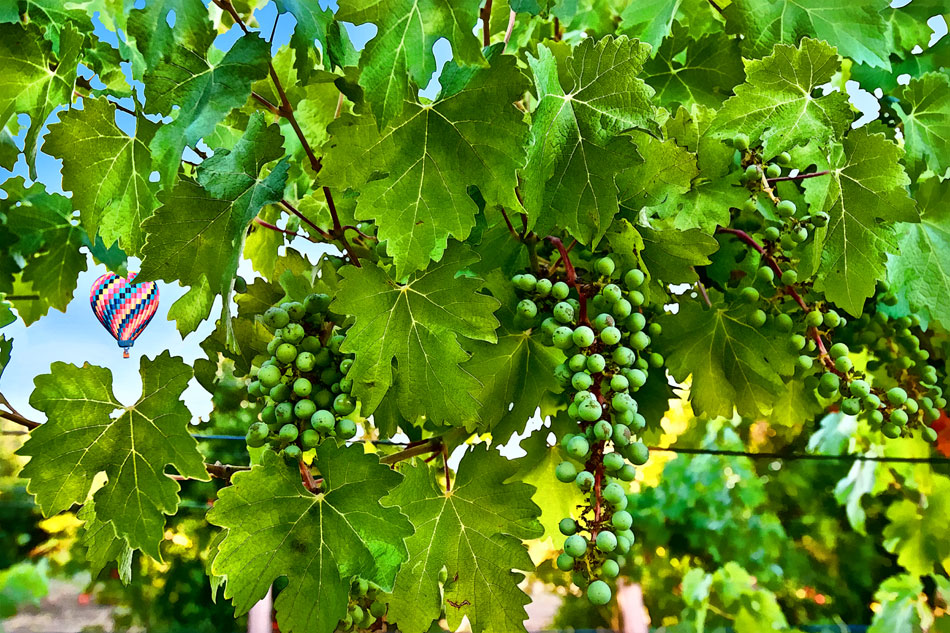 tew1-and-vine-clusters-new