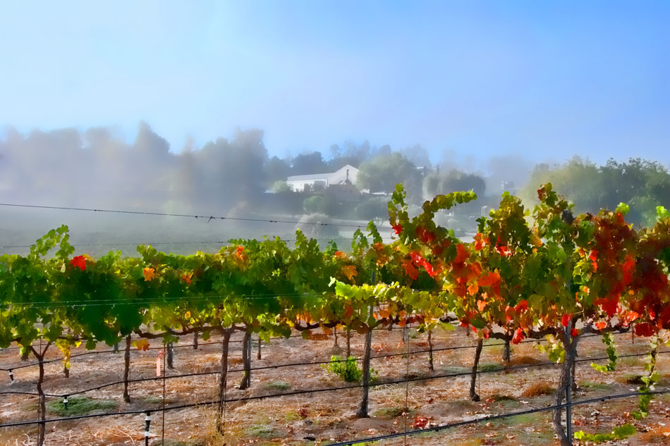 tew12-foggy-vineyard-new
