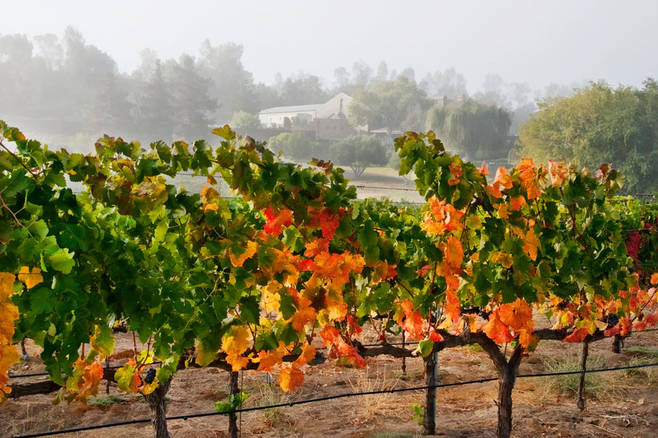 tew13-foggy-fall-vineyard-cu-winery