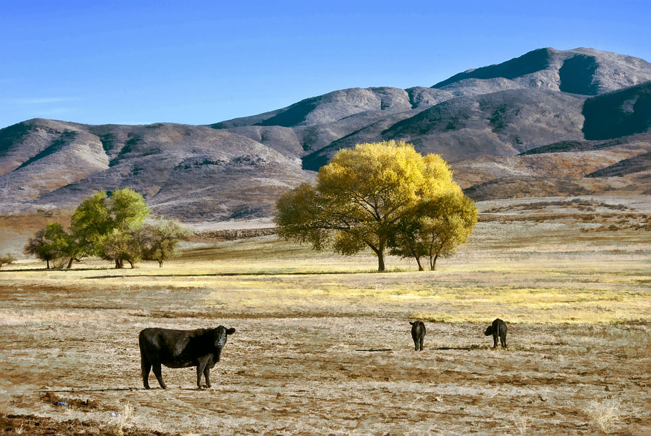 wn3-cattle-in-pasture
